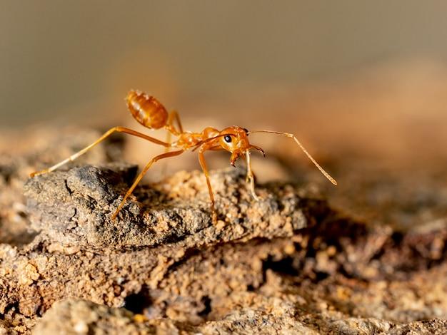 Zamyka W Górę Mrówki Na Drzewie Premium Zdjęcia