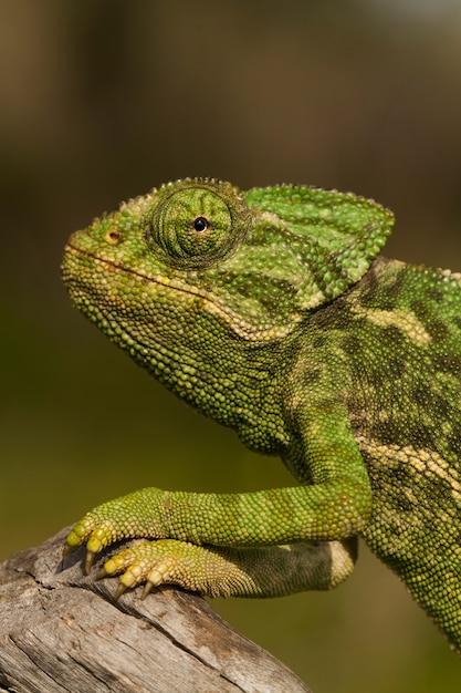 Zamyka w górę widoku śliczny zielony kameleon na dzikim. Premium Zdjęcia