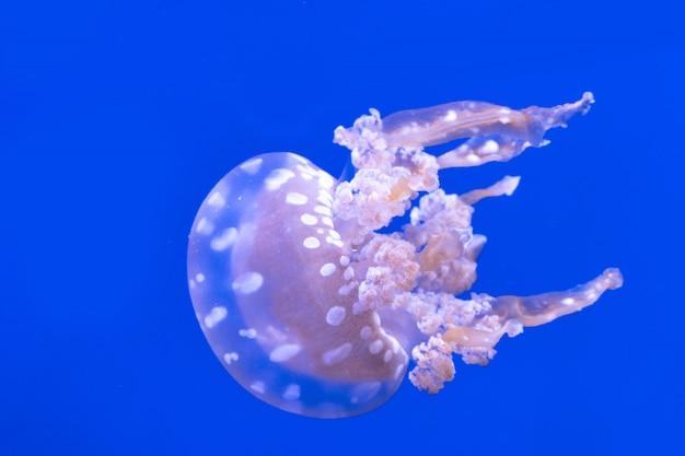 Zauważył Meduzy Laguny. Mastigias Papua. Spektakularne Meduzy. Premium Zdjęcia