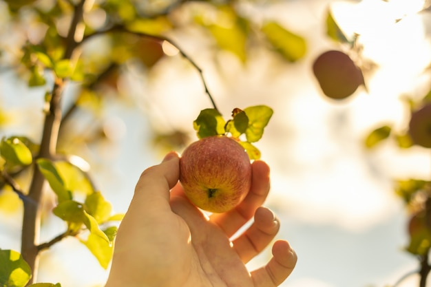 Zbieranie Jabłek. Ręka Rolnika Wybiera Dojrzałe Jabłko łagodne Z Drzewa. Premium Zdjęcia