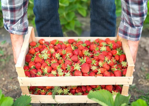Zbieranie Pysznych Organicznych Owoców Truskawek Darmowe Zdjęcia