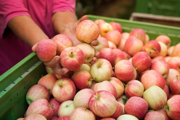 Zbiory Owoców Jabłka W Sadzie Darmowe Zdjęcia