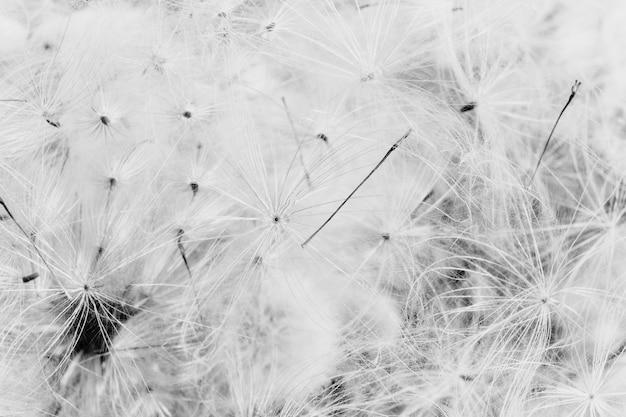 Zbliżenia Skala Szarości Dandelions Tło Darmowe Zdjęcia