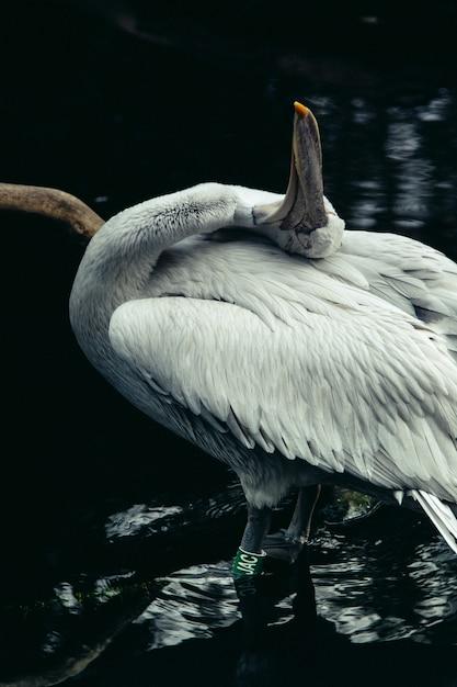 Zbliżenia Vertical Strzał Biały Piękny Pelikan W Jeziorze Darmowe Zdjęcia