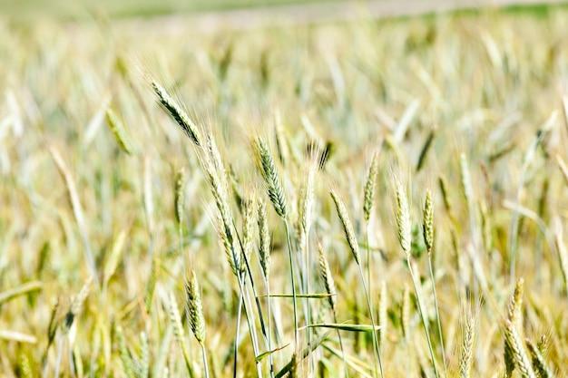 Zbliżenia Zrobione Niedojrzałe Zielone Zboża Latem Premium Zdjęcia