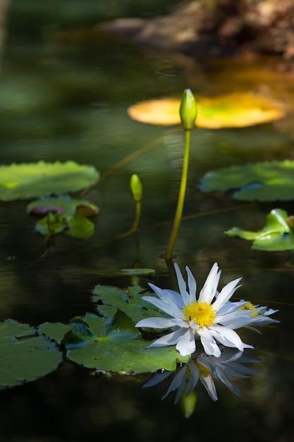 Zbliżenie Biały święty Lotos Na Jeziorze Pod światłem Słonecznym Z Rozmytym Tłem Darmowe Zdjęcia