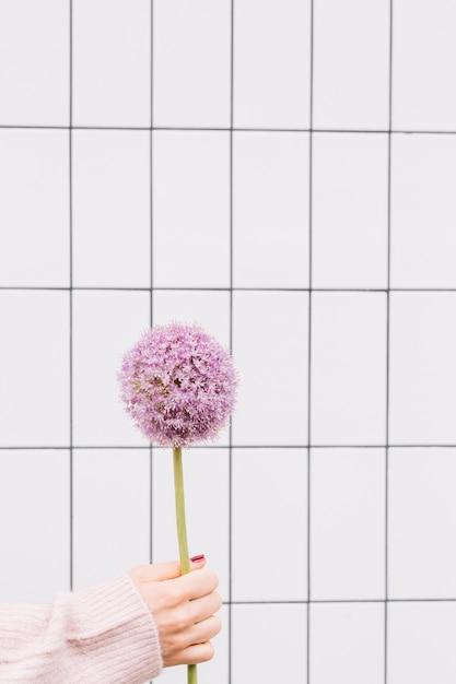 Zbliżenie Dłoni Trzymającej Gigantyczną Cebulę; Allium Giganteum Darmowe Zdjęcia