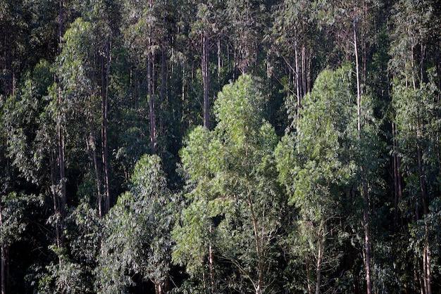 Zbliżenie Eukaliptusowa Plantacja Premium Zdjęcia