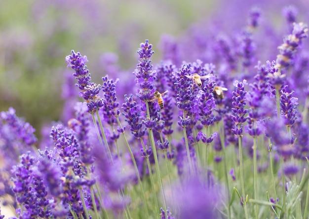 Zbliżenie Fiołkowa Lawenda Kwitnie Z Pszczołą Na Polu Premium Zdjęcia
