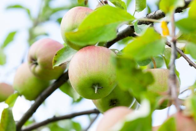 Zbliżenie Jabłek Rosnących Na Drzewach W Sadzie. W Sezonie Letnim Mała Głębia Ostrości Premium Zdjęcia