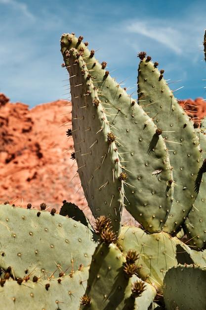 Zbliżenie Kłującej Bonkrety Kaktus Na Słonecznym Dniu Przy Doliną Pożarniczy Stanu Park W Nevada Premium Zdjęcia