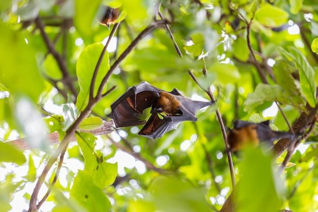 Zbliżenie Latający Lisy Wiesza Na Drzewach Premium Zdjęcia