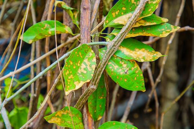 Zbliżenie Liści Liście, Które Drzewa Są Wstrzykiwane Insektycydami. Premium Zdjęcia
