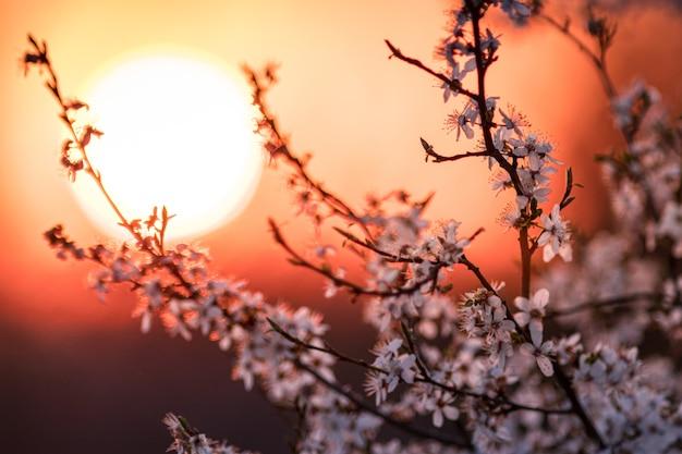 Zbliżenie Na Kwiat Moreli Z Pięknym Zachodem Słońca W Godzinach Wieczornych Darmowe Zdjęcia