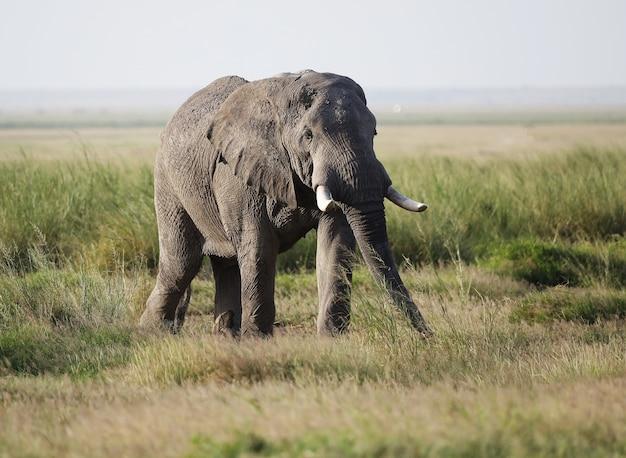 Zbliżenie Na Słonia Chodzącego Po Sawannie Amboseli National Park, Kenia, Afryka Darmowe Zdjęcia