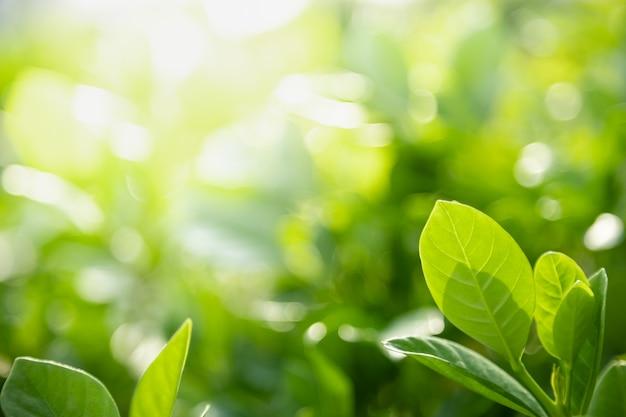 Zbliżenie Natury Widok Zielony Liść Na Tle Rozmazanej Zieleni W Słońcu Z Bokeh I Kopia Tło Naturalne Rośliny Krajobraz, Premium Zdjęcia