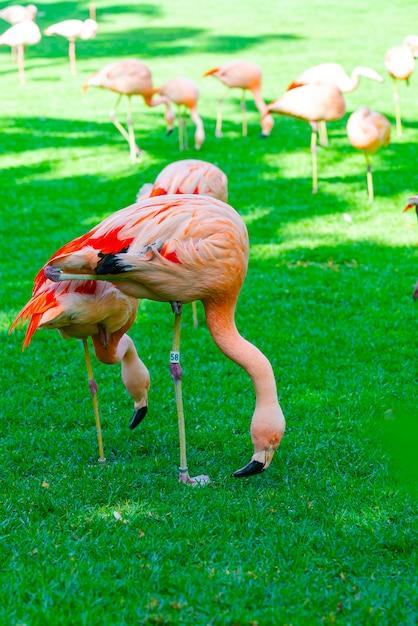 Zbliżenie Piękny Flaming Grupy Gmeranie Dla Jedzenia W Trawie Darmowe Zdjęcia