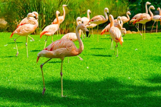 Zbliżenie Piękny Flaming Grupy Odprowadzenie Na Trawie W Parku Darmowe Zdjęcia