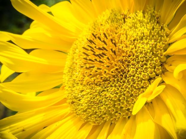 Zbliżenie Piękny żółty Słonecznik - Doskonały Do Naturalnej Tapety Darmowe Zdjęcia