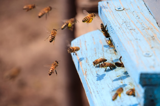 Zbliżenie Pszczół Miodnych Latających Na Niebiesko Pomalowanej Powierzchni Drewnianej W Słońcu W Ciągu Dnia Darmowe Zdjęcia
