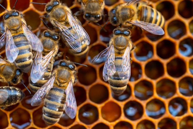 Zbliżenie Pszczół Pracujących Na Plaster Miodu. Obraz Pszczelarstwa I Produkcji Miodu Premium Zdjęcia