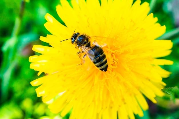 Zbliżenie Pszczoły Na żółtym Mniszka Lekarskiego W Ogrodzie Darmowe Zdjęcia