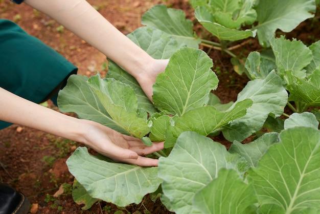 Zbliżenie ręki rolnik bierze opiekę kapuścianej uprawy Darmowe Zdjęcia