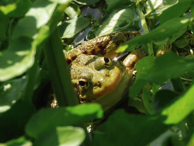 Zbliżenie Ropucha Amerykańska Pod Zielonymi Liśćmi Darmowe Zdjęcia