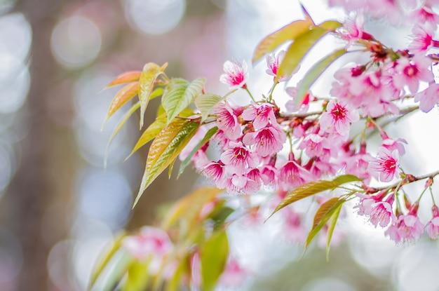 Zbliżenie Różowi Kwiaty Dzika Himalajska Wiśnia Z Zamazanym Tła Bokeh, Chiang Mai, Tajlandia (prunus Cerasoides) Premium Zdjęcia