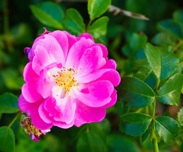 Zbliżenie Różowy Rosa Gallica Otoczony Zielenią Na Polu W świetle Słonecznym W Ciągu Dnia Darmowe Zdjęcia