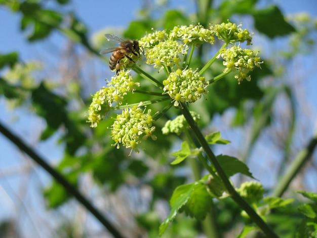 Zbliżenie Selekcyjnej Ostrości Strzał Pszczoła Na Apium Nodiflorum Z Kwiatami Darmowe Zdjęcia