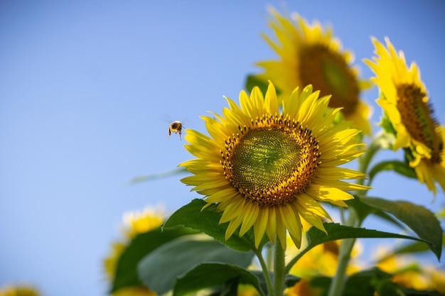 Zbliżenie Słonecznik I Pszczoła Lata Blisko Go Na Słonecznym Dniu Darmowe Zdjęcia