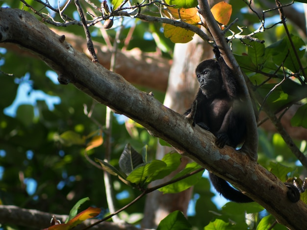 Zbliżenie Strzał Mała Czerni Małpa Odpoczywa Gałąź W Lesie Darmowe Zdjęcia