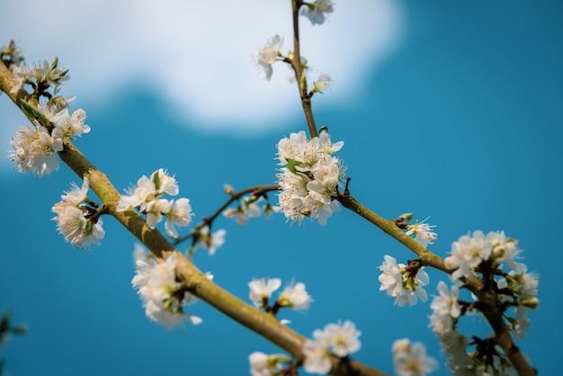 Zbliżenie Strzał Piękny Biały Okwitnięcie Na Gałąź Drzewo Z Zamazanym Błękitnym Naturalnym Tłem Darmowe Zdjęcia