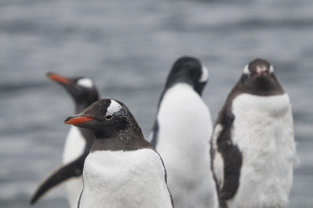 Zbliżenie Strzał śliczni Gentoo Pingwiny Stoi Na Kamienistym Piasku Darmowe Zdjęcia