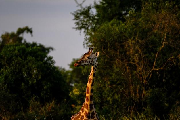 Zbliżenie Strzał żyrafa Blisko Drzew I Zamazanego Naturalnego Tła Na Słonecznym Dniu Darmowe Zdjęcia