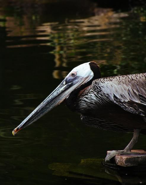 Zbliżenie Strzelał Dziki Pelikana Obsiadanie Na Drewnianej Desce Wodzie Pitnej Od Jeziora I Darmowe Zdjęcia