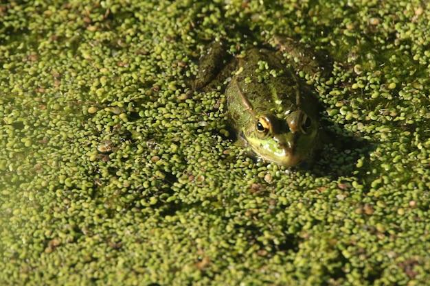 Zbliżenie Strzelał żaby Dopłynięcie W Zielonym Bagnie Darmowe Zdjęcia