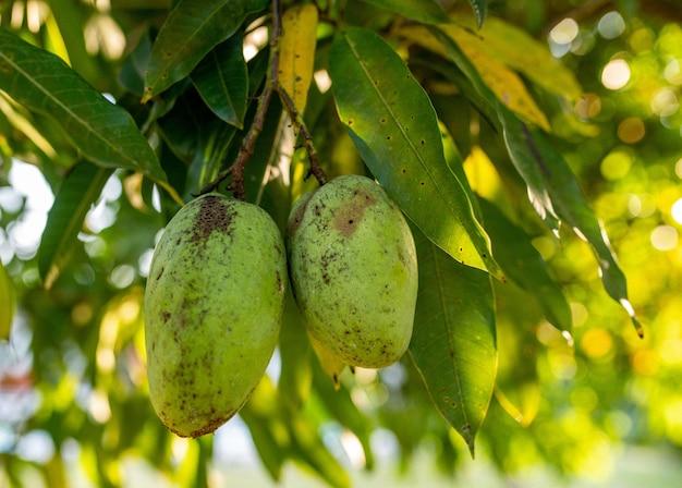 Zbliżenie świeżych Zielonych Mango Zwisających Z Drzewa Darmowe Zdjęcia