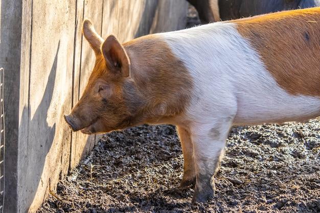 Zbliżenie świni Gospodarstwa żerowania Na Pożywienie Na Błotnistej Ziemi Obok Drewnianego Płotu Darmowe Zdjęcia