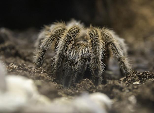 Zbliżenie Tarantula Na Ziemi Pod Słońcem Darmowe Zdjęcia