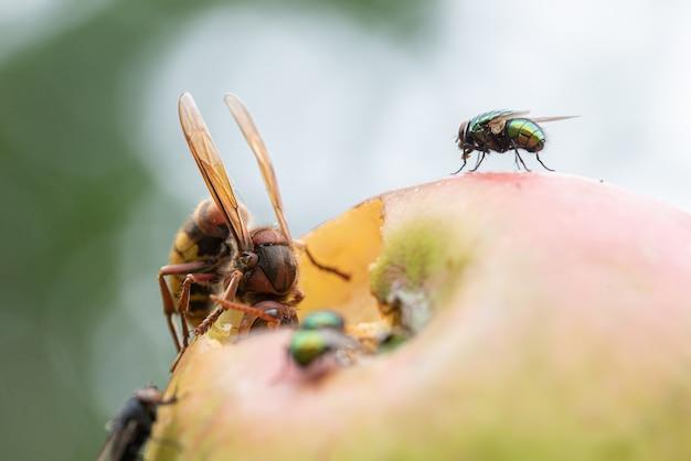 Zbliżenie Widok Wielkiego Szerszenia Jedzącego Jabłko Rosnące Na Drzewie. Premium Zdjęcia