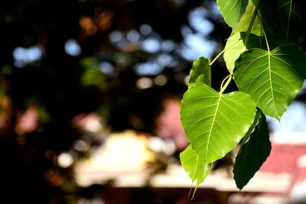 Zbliżenie Zielone Liście Bodhi (liście Bo) Premium Zdjęcia