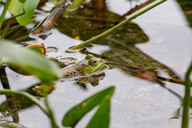 Zbliżenie Zielonej żaby Dopłynięcie W Wodzie Blisko Rośliien Darmowe Zdjęcia
