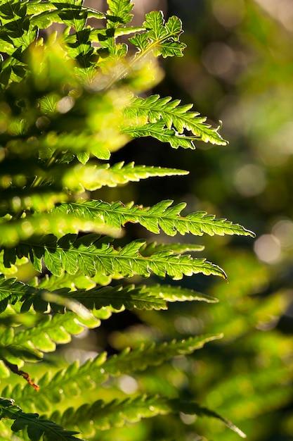 Zbliżenie Zielonych Liści Paproci, Małej Głębi Ostrości. Premium Zdjęcia