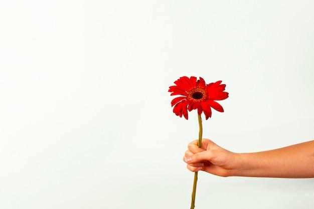 Żeński Ręki Mienie Kwitnie Czerwonego Gerber Kwiatu Na Lekkim Tle. Premium Zdjęcia