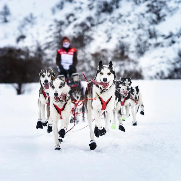 Zespół Psów Siberian Husky Na śniegu W Zimie Wyścig Konkurencji W Lesie Premium Zdjęcia