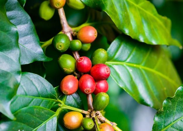 Ziarna kawy na drzewie Premium Zdjęcia