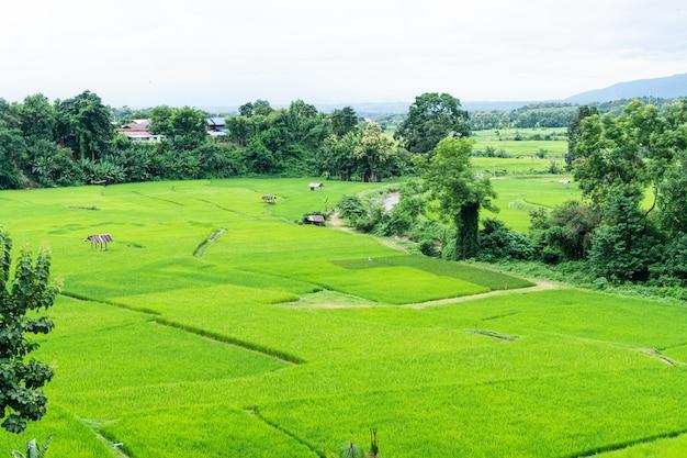 Zieleń Tarasował Rice Pole W Nan, Tajlandia. Premium Zdjęcia