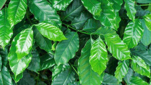 Zielona arabica kawowa roślina w ogródzie. Premium Zdjęcia